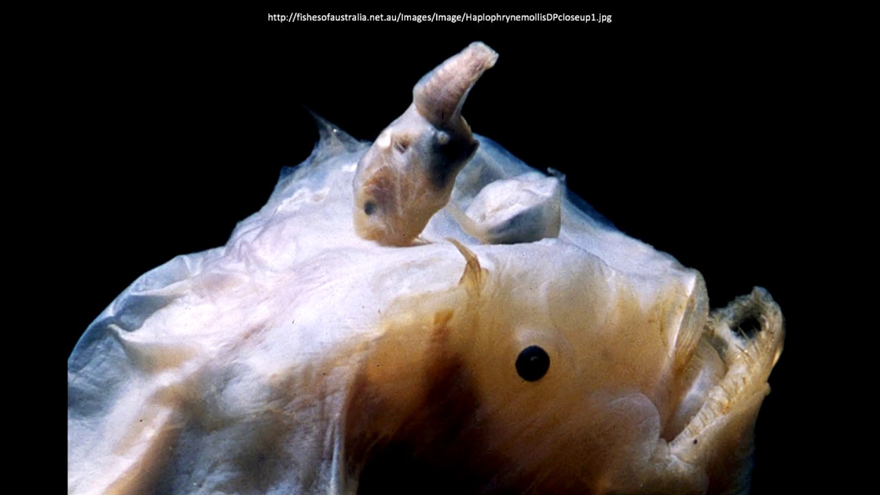 angler fish mating - photo #3
