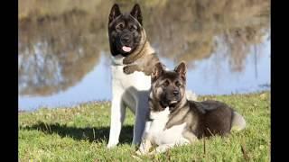 Как выглядят породы собак (АМЕРИКАНСКАЯ АКИТА)