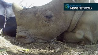 Orphaned baby rhino gets some shut-eye