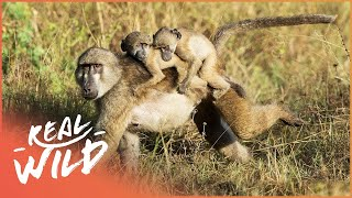 Baboon Royal Baby Gets Kidnapped | Valley Of The Golden Baboons | Real Wild  Shorts