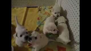 Westie-poo Puppies - Litter Of 6