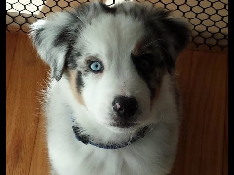 Astro the Australian Shepherd- puppy to adult