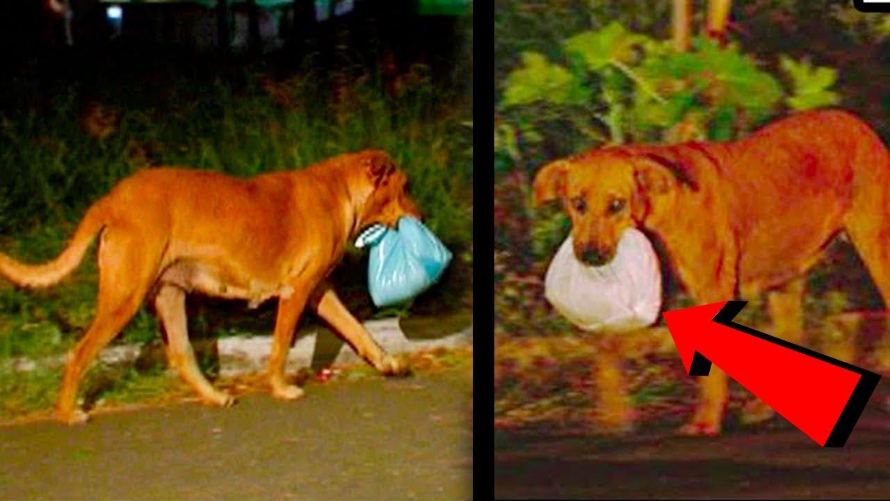 Köpek Her Gece Evden Kaçıp Ağzında Bir Poşetle Geri Geliyordu, Sebebini Öğrendiklerinde Şoke Oldular