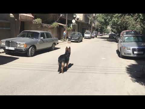 كلبتي جاكي جيرمن شيبرد  بالشارع تصوير 4k