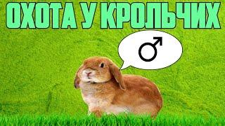 охота у крольчих  Кролик ТВ