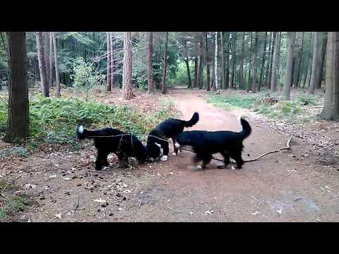 Big Dogs Live | Nature walks with three Bernese mountain dogs