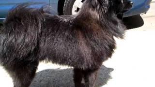 Black Pomeranian Onyx