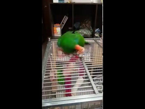 Eclectus parrot attack !!
