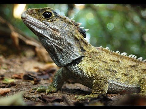 Tuatara: New Zealand Reptiles - Interesting Facts About Tuatara (World of animals #9)
