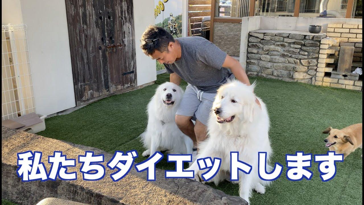 愛犬と一緒にダイエット宣言 グレートピレニーズ