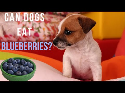 Can Dogs Eat Blueberries? Are