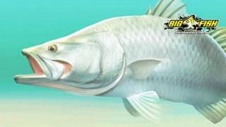 Bigfish Barra Illustration