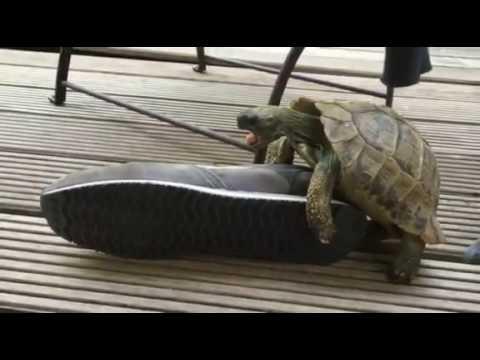 Tortoise having sex with shoe