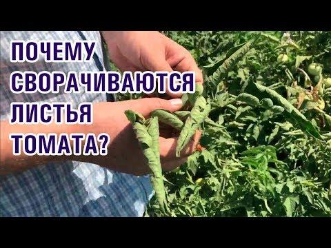 Почему сворачиваются, скручиваются листья томата (помидора)? (25-07-2018)