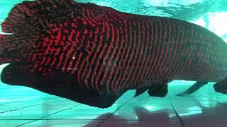 Cá Hải Tượng Nặng 200kg Siêu Khủng
