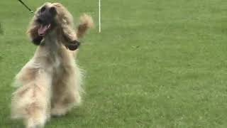 Southern Counties CA 2004  Afghan Hounds  HD 720p