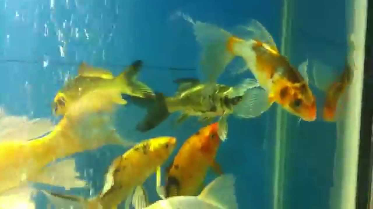 Koi fish is golden yellow and black long fin - YouTube