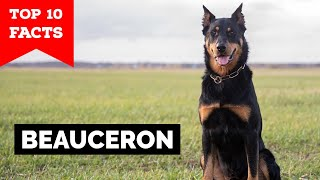 Beauceron  Top 10 Facts