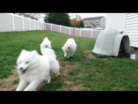 3 American Eskimo Dogs running in slo-mo