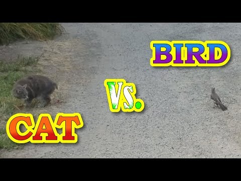 Funny Cat Vs. Bird | Mockingbird Torments Manx Cat
