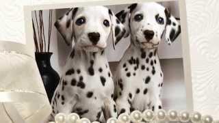 Очень милые и красивые щеночки! Позитивное видео! Юмор, приколы, животные, собаки кошки