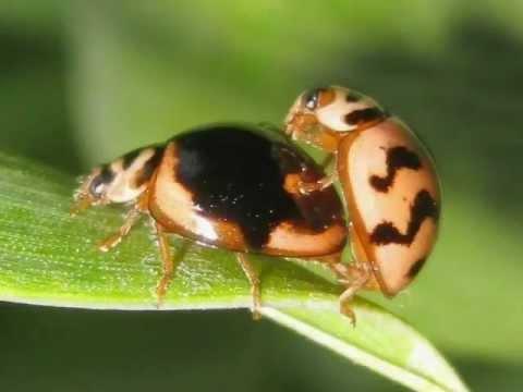 Ladybug Life Cycle Video - Ladybug Metamorphosis - YouTube - photo#31