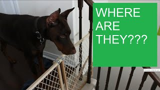 Dobertot: Doberman waits impatiently for grandma and grandpa to arrive! #dog #baby
