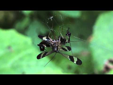 シリアゲムシの求愛交尾 Scorpion Fly mating