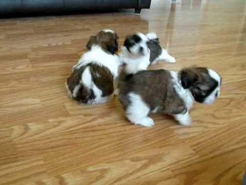 Shih Tzu Puppies 5 12 Weeks2 May 15 2009 Youtube