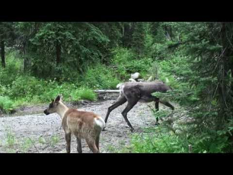 Mountain caribou in the South Selkirk mountains August update