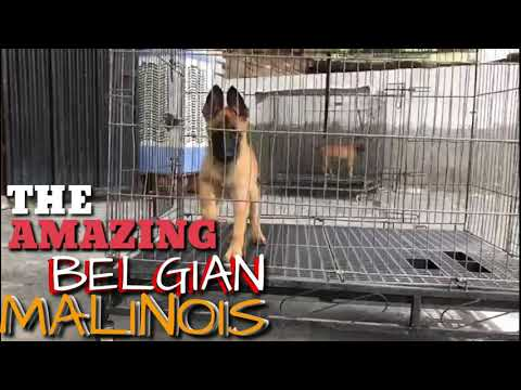 belgian-malinois-puppies,-semi-adults-&-adults-for-sale-with-kci-(kennel-club-of-india-registration)