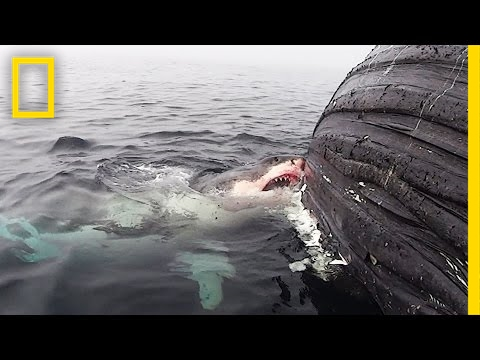 Thumbnail: Watch: Great White Shark Feasts on Dead Whale | National Geographic