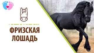 Фризская порода лошадей. Фризская лошадь
