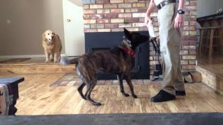 Reno Dog Trainer & The Education Of A Dutch Shepherd - Update 3/23/14