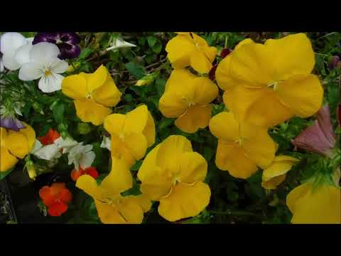 How To Keep Your Pansies Blooming, How To Remove Spent Blossoms From Your Pansies, Swiss Giants Pans