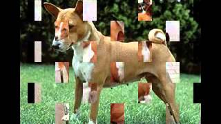 Basenji dog breed photo gallery