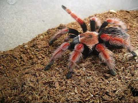 Tarantula Feeding #1