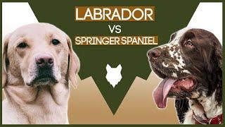 LABRADOR VS SPRINGER SPANIEL