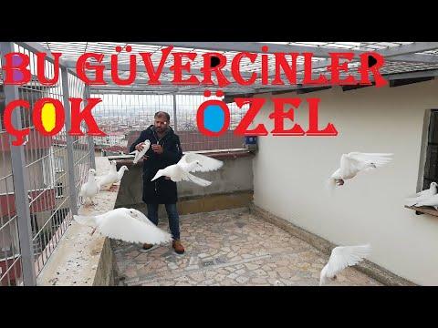 Bu Güvercinler Gerçekten Çok Özel. Beyaz Alman Posta Güvercinleri ve Özellikleri - 530.728.70.75.