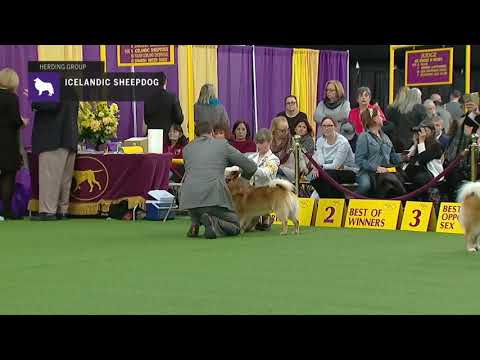 Icelandic Sheepdogs | Breed Judging 2019
