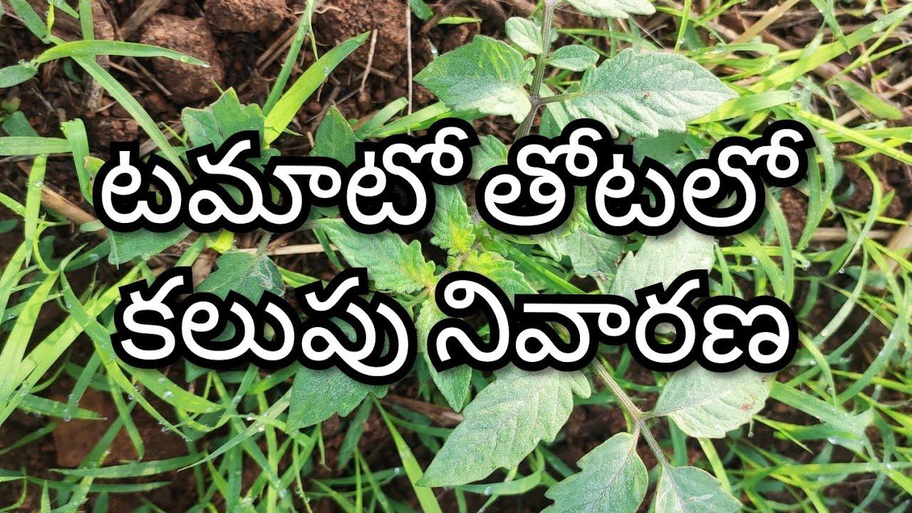 టమాటా తోటలలో కలుపు  ఎలా తొలగించాలి    how to  weed remove tomato cultivation   10 January 2020