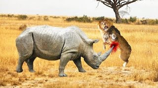 RHINO KILLS LION  RHINO VS LION FIGHT TO DEATH