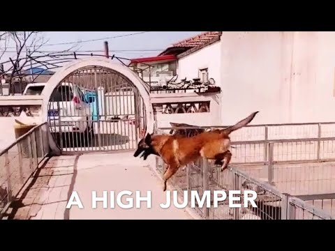 German Shepherd dog jumping over the fence