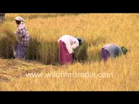 Wheat harvesting in India