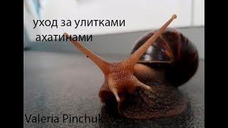 //уход за улитками ахатинами//улитки ахатины//гигантские улитки//Valeria Pinchuk//