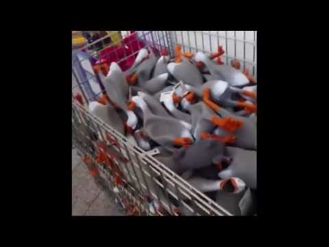 100-squeaky-ducks-in-a-shopping-cart-|-original