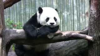 видео Большая панда – горный медведь Тибета. Описание и фото большой панды