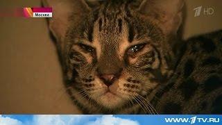 Бенгальская кошка устроила погром в магазине
