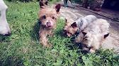Папильон и фален купить щенков объявления продажа щенков папильон и фален. Продам щенка россия, санкт-петербург папильон и фален.