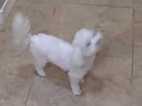 Maltese Puppy Bella Before Surgery